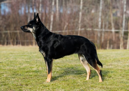 Leagården's Black And Tan Osca